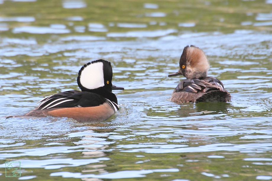 Hooded Merganser 112110-8