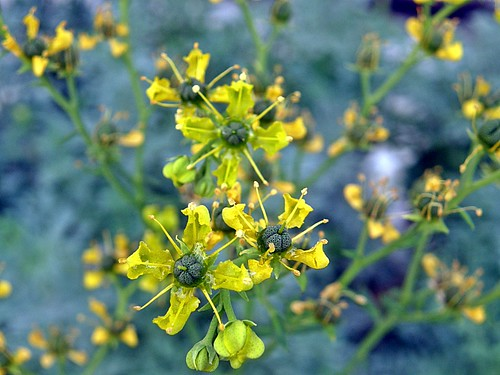 flores de ruda 1