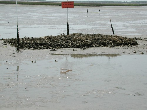 A sand flat oyster reef in 2002