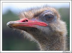 Retrato de avestruz (alfonso-tm) Tags: naturaleza retrato avestruz cantabria d300 cabarceno 70300vr