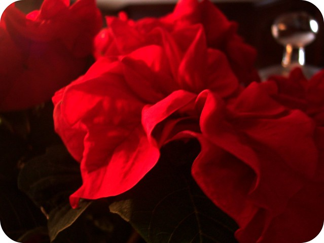 rose poinsettia 3