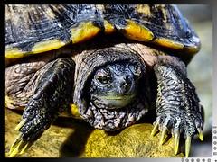 "Explored: ""Hooded"" (lennox_tpc) Tags: world wild animal zoo amazing turtle ps explore finepix fujifilm discovery explored s200exr s205exr"