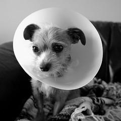 [フリー画像] 動物, 哺乳類, イヌ科, 犬・イヌ, モノクロ写真, 201012041100