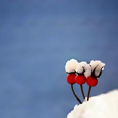 untitled . (helmet13) Tags: d90 raw minimalist winter snow rosehip selectivefocus peaceaward platinumpeaceaward 100faves world100f gettyimages