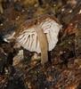 Champagne velvet gill mushroom Hygrocybe sp Hygrophoraceae Airlie Beach rainforest P1030828 (Steve & Alison1) Tags: champagne velvet gill mushroom hygrocybe sp hygrophoraceae airlie beach rainforest