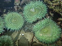 Giant Green Anemone (Norman Graf) Tags: animal anthopleuraxanthogrammica california giantgreenanemone naturalbridgesstatebeach seaanemone