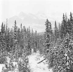 The ghosts of the massive (Zeb Andrews) Tags: hasselblad film mediumformat fujiacros100 canada alberta filmphotography landscape blackwhite 6x6 forest banff canadianrockies
