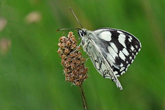 Marbled White (Roy Lowry) Tags: cerneabbas gianthill marbledwhite melanargiagalathea