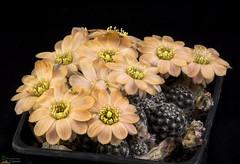 Rebutia pygmaea (clement_peiffer) Tags: rebutia pygmaea flowerscolors d7100 105mm cactaceae succulent peiffer clement nikon cactus fleurs flower spines epines kaktusi кактуси orange
