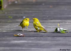 YELLOW WARBLERS ( JUVENILS) (imeshome) Tags: nikond7000 nikon200500 larry yellow warbler bird mom feed boardwalk north wildwood beautiful nature wildlife