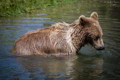Europäischer Braunbär (ab-planepictures) Tags: bär zoo tier animal bear braunbär europäische gelsenkirchen zoom