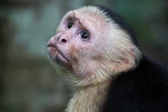Capucin - (2) - Costa Rica
