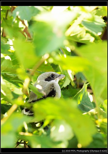 Eastern Loggerhead Shrike (Lanius ludovicianus migrans) fledgling