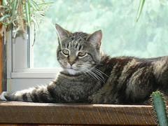 cats pets cat tigger