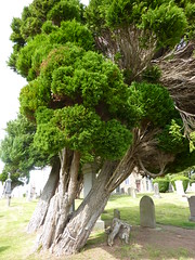 Ancient Yew Tree (Bebopgirl1969) Tags: tree graveyard scotland yew invernessshire oldpettychurch