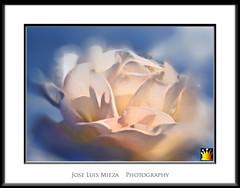 Alborada (Jose Luis Mieza Photography) Tags: flowers flores flower fleur fleurs flor benquerencia florews reinante jlmieza reinanteelpintordefuego joseluismieza