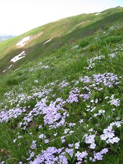 Phlox gardens high on the mountain