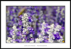 joie (Jose Luis Mieza Photography) Tags: flowers flores flower fleur fleurs flor benquerencia florews reinante jlmieza reinanteelpintordefuego joseluismieza