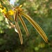 Handroanthus chrysotrichus