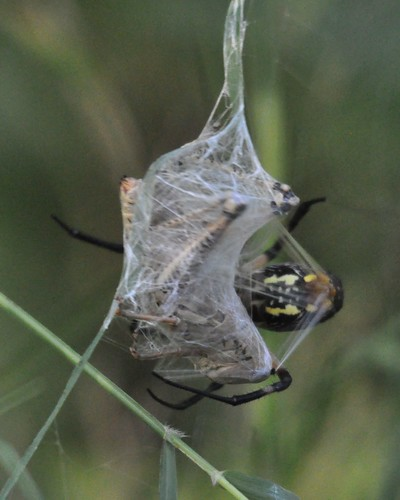 Orb Weaver vs. grasshopper 3