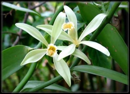 Fleurs de Vanille,Aztèques