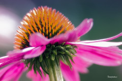 Echinacea Angustifolia (reintjedevos [lay out - night mare for Admins]) Tags: flower nature pegasus natuur showroom click soe td bloem tistheseason echinaceaangustifolia butterfliesandflowers goldengallery bej perfectpetals mywinners 14karatgold betterthangood goldstaraward naturestyle yourpreferredpictures reintjedevos damniwishidtakenthat ubej allkindsofmacros dragondaggerphoto newenvyofflickr ilikethenature pictureslovers bestofdamn beautifulfloras grazyaboutnature mygearandme mygearandmepremium mygearandmebronze mygearandmesilver mygearandmegold mygearandmediamond hennysflowergarden ilikethenatureplatinum showroomsbest thegoldenflowersandbutterflies klassethebestinnature betterthangoodlv2345 mygearandmelv1tm6 visionaryartgallerylv1tm3 eliteofultimatebrillianteyejewels