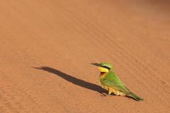 Little Bee-eater (altsaint) Tags: bird kenya birdwatcher beeeater shimbahills merops eos400d