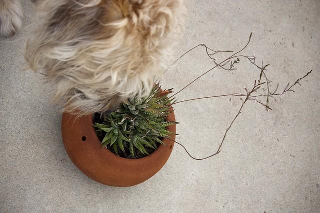 spikey cactus flowers + dog