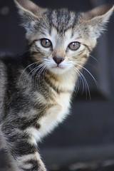 Zia the cat (Robin d Euphor) Tags: pet cute nature animal cat kitten chat young kitty moustache zia gatto bb minou chaton flin fline cupabiayahoofr robingravois