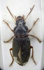 Harpalus rufipes (Chris_Moody) Tags: macro insect beetle ground microscope specimen photomicroscopy microphotography coleoptera carabidae carabid microphoto carabida harpalusharpalusrufipes taxonomy:binomial=harpalusrufipes harpalusrufipes