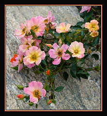 Beauty On The Rocks (Photographic Poetry) Tags: nature rose maine bloom boothbay coastalmainebotanicalgardens natureselegantshots