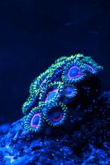 coral aquarium marine led reef saltwater zoanthid