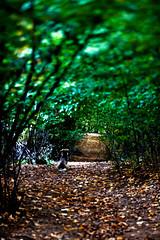 Bullet, my best friend for today (ion-bogdan dumitrescu) Tags: autumn dog green leaves forest gold waiting path master romania bullet bestfriend prahova campina bitzi ibdp gettyvacation2010 mg6810edit ibdpro wwwibdpro ionbogdandumitrescuphotography