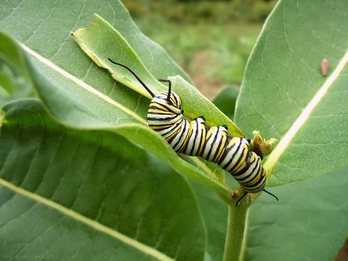 content caterpillar