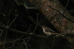 Redstart (stonefaction) Tags: nature birds scotland fife wildlife estuary eden ness faved guardbridge adbc