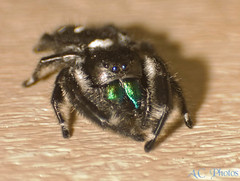 Regal Jumping Spider (ac4photos ( More off than on - Computer Woes )) Tags: macro closeup bug insect spider nikon florida arachnid wetlands everglades handheld ac reverselens loxahatchee d40 exttube regaljumpingspider ac4photos
