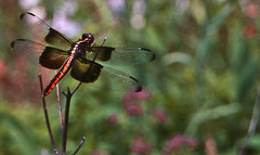 Dragonfly (penant) Tags: flowers field grass fly dragon kansas depth naturephotography 123nature wildanimalsandbugs