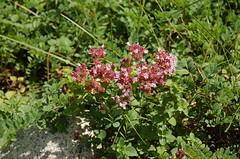 "Oregano In Flower <a style=""margin-left:10px; font-size:0.8em;"" href=""http://www.flickr.com/photos/91915217@N00/4995238748/"" target=""_blank"">@flickr</a>"
