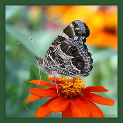 the lady loves zinnias (mimbrava) Tags: butterfly bravo adult mimbrava arr medium allrightsreserved lateral americanlady vanessavirginiensis bmna metroatlantaga supereco mimeisenberg mimbravastudio