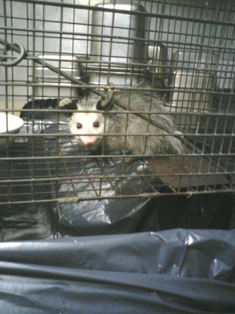 Captured Possum