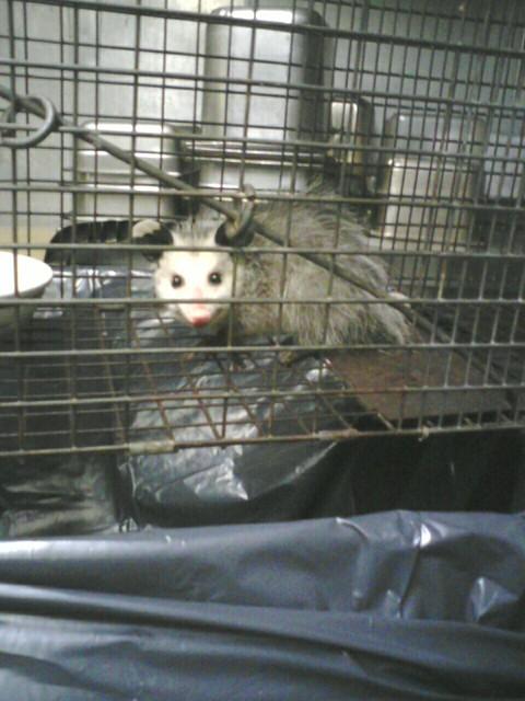 Captured Possum