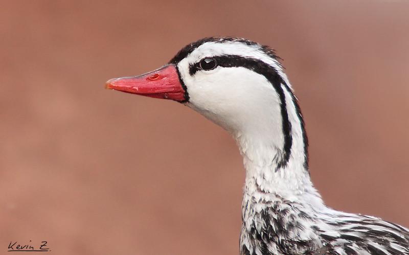 FORONATURA  Pato de Torrente  Aves