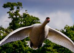 Swan flight (Steve-h) Tags: trees ireland sky dublin bird nature grey flying swan cloudy action wildlife flight bushypark steveh canoneos5dmarkii mygearandmepremium mygearandmebronze mygearandmesilver mygearandmegold mygearandmeplatinum mygearandmediamond canonef70200mmf28lisiiusm