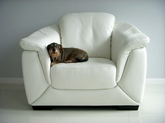 question (kexi) Tags: wallpaper portrait dog pet white leather wow nikon funny august dachshund question coolpix stare armchair simple 2010 tup jamnik mrwka instantfave dissymmetry thelittledoglaughed theunforgettablepictures thebestofday