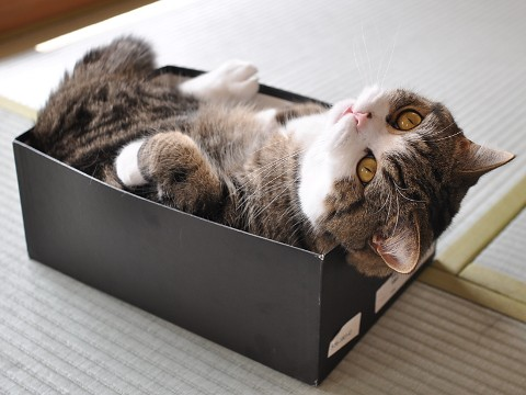 cute maru the cat in shoe box