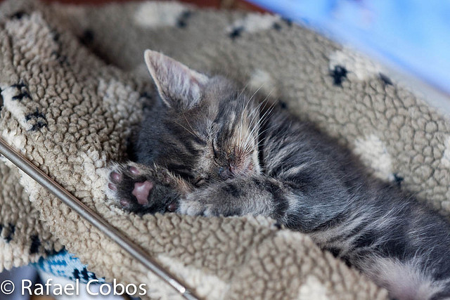 cute rescued gray kitten napping