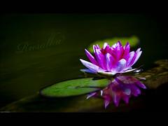 Pink Princess (Matilda Diamant) Tags: pink flower nature water lily princess croatia brach rusalka