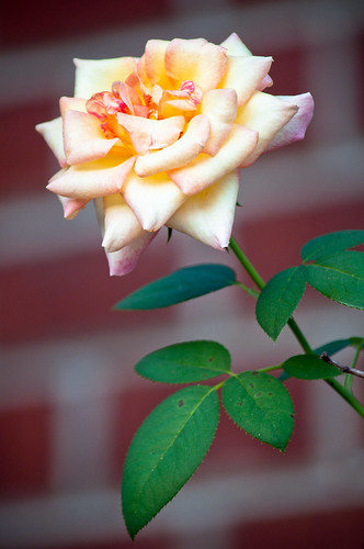 Rose Against A Brick Wall
