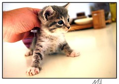 Chaton (mil42) Tags: cat silver gris chat kitty 42 mil chaton persan bestofcats justpentax