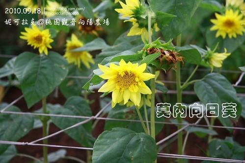 桃園觀音向陽農場20100918-073
